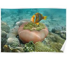Clownfish and sea anemone underwater Pacific ocean Poster