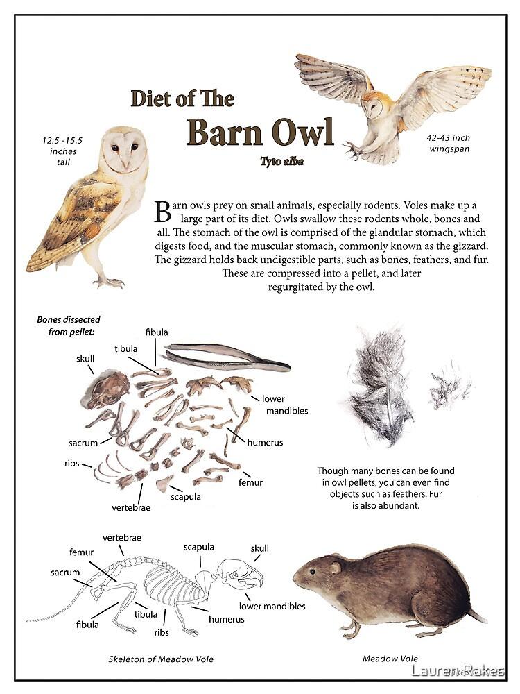 Diet of the Barn Owl by Lauren Rakes