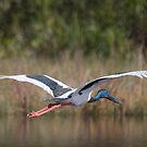 Low Flying Jabiru by byronbackyard