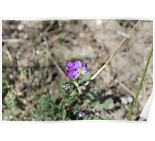 Viola curtisii Poster