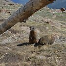 Marmots on the Tundra by Amanda Huggins
