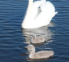 Swan and it's cygnets by Jackward