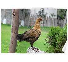 Brown Chicken on a Roost Poster