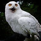 Snowy owl by Nancy Richard
