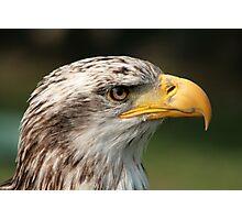 Female Bald Eagle Photographic Print