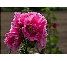 Sunny Vivid Pink Hollyhocks in a Cottage Garden Photographic Print