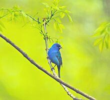 Indigo Bunting Songbird - Passerina cyanea by MotherNature