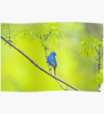 Indigo Bunting Songbird - Passerina cyanea Poster