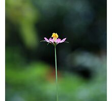 Pink cosmos flower Photographic Print