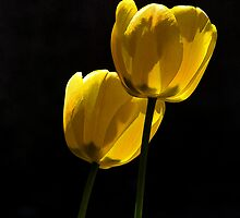Two Tulips by vigor