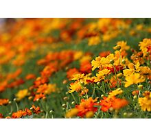 Yellow and orange cosmos flowers Photographic Print