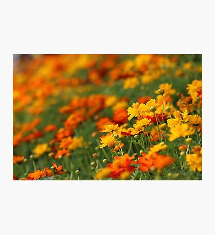 Yellow and orange cosmos flowers Photographic Print