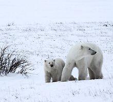Polar Bear Mother & Cub in the Tundra by Carole-Anne