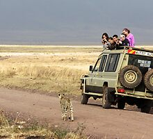 Cheetah on parade in Ngorogoro Crater, Tanzania by Hannah Nicholas