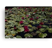 A Profusion of Cardinal Red Waterlilies Canvas Print
