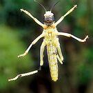 Grasshopper  by Stephen Frost