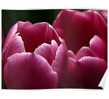 Tulips in Pink Poster