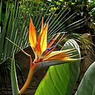 Bird of Paradise by John Thurgood