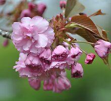 Kwanzaa Cherry Blossoms... by Poete100