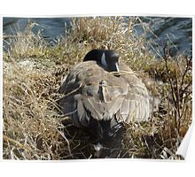 Canada Goose on a Nest Poster