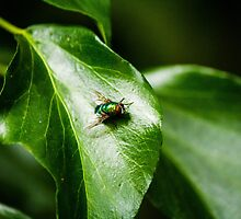 Fly on leaf by Andy Law