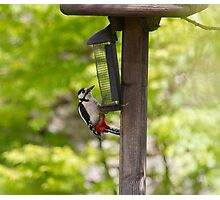Greater Spotted Woodpecker Photographic Print