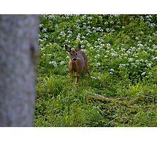 Stunning Roe Deer.. Photographic Print