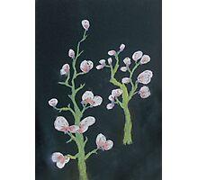 White Blossom Trees Photographic Print