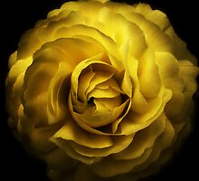 Yellow Rose by Simon Duckworth