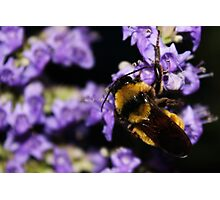 Bumble Bee At Dusk Photographic Print