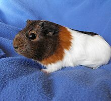 Agouti and White Guinea Pig by Jollyrobin