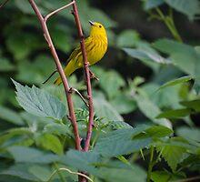 Warbler by Halobrianna