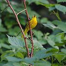 Singing Warbler by Halobrianna