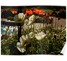Poppies in the Afternoon Light Poster