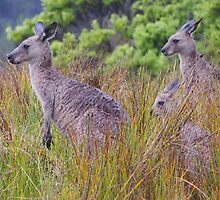 Coastal Kangaroos by Cyn Piromalli