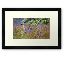 Coastal Kangaroos Framed Print