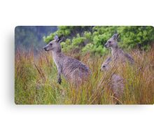 Coastal Kangaroos Canvas Print