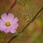 A Cosmos a day....  by Qnita