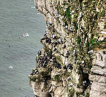 Bempton Cliffs by Tom Gomez