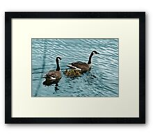 Pair of Adult Canada Geese with Goslings Framed Print
