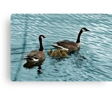 Pair of Adult Canada Geese with Goslings Canvas Print