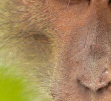 Macaque stare Sticker
