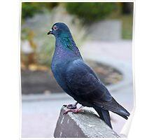 Pigeon Poster