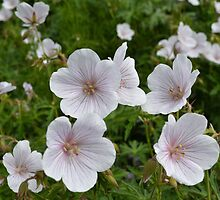 white flowers by waylander99uk