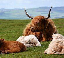 highland cows by waylander99uk