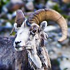 Stone Sheep [Ovis dalli stonei] by Yukondick