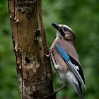 A Jay by Colin Metcalf