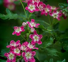 Pink Hawthorn Blossom by Colin Metcalf