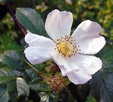Wild Rose. by TimHatcher