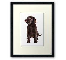 cute little brown labrador retriever puppy Framed Print